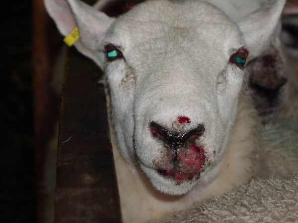 Tubby Orf|Animal Farmacy