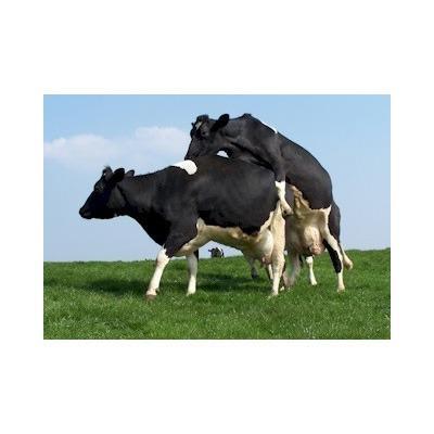 Bulling cows Animal Farmacy