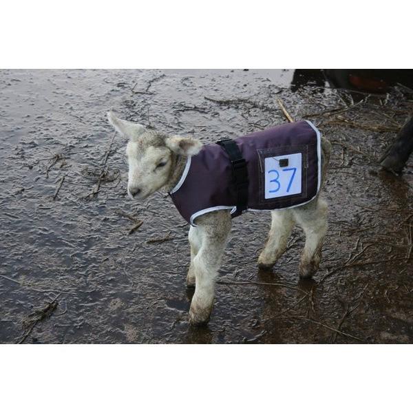 Cosy Lamb Jacket | Animal Farmacy