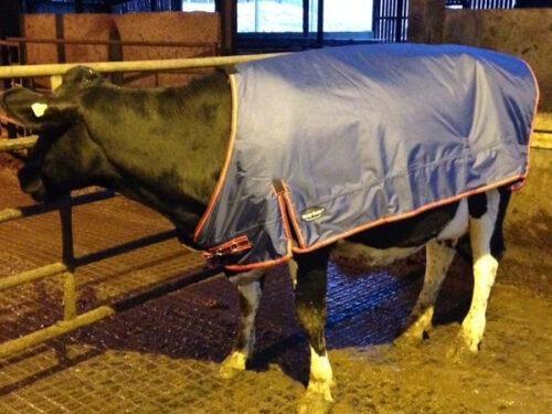 Cow Rug|Animal Farmacy