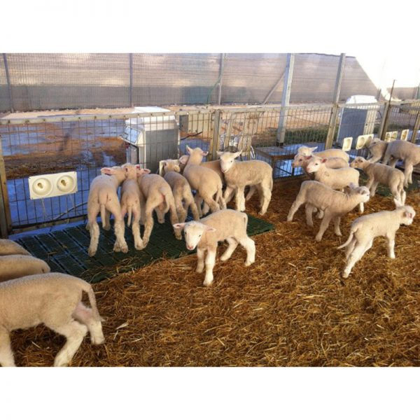 Lamb|Animal Farmacy