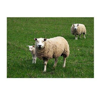 Tubby Sheep|Animal Farmacy