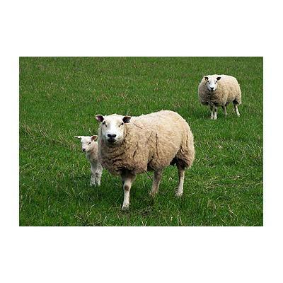 Tubby Sheep Animal Farmacy