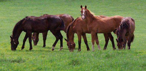 DLF Horsemax|Animal Farmacy