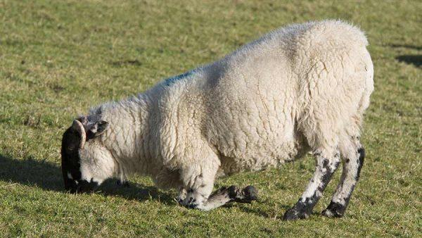 Tubby Sheep Feet Animal Farmacy