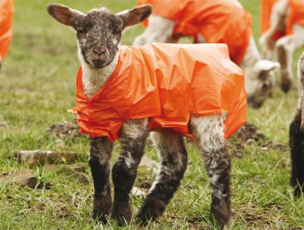 Lamb Jacket |Animal Farmacy